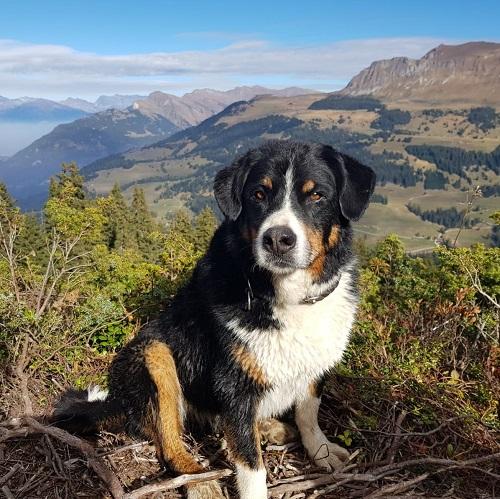 Hund in den Bergen CBD Öl
