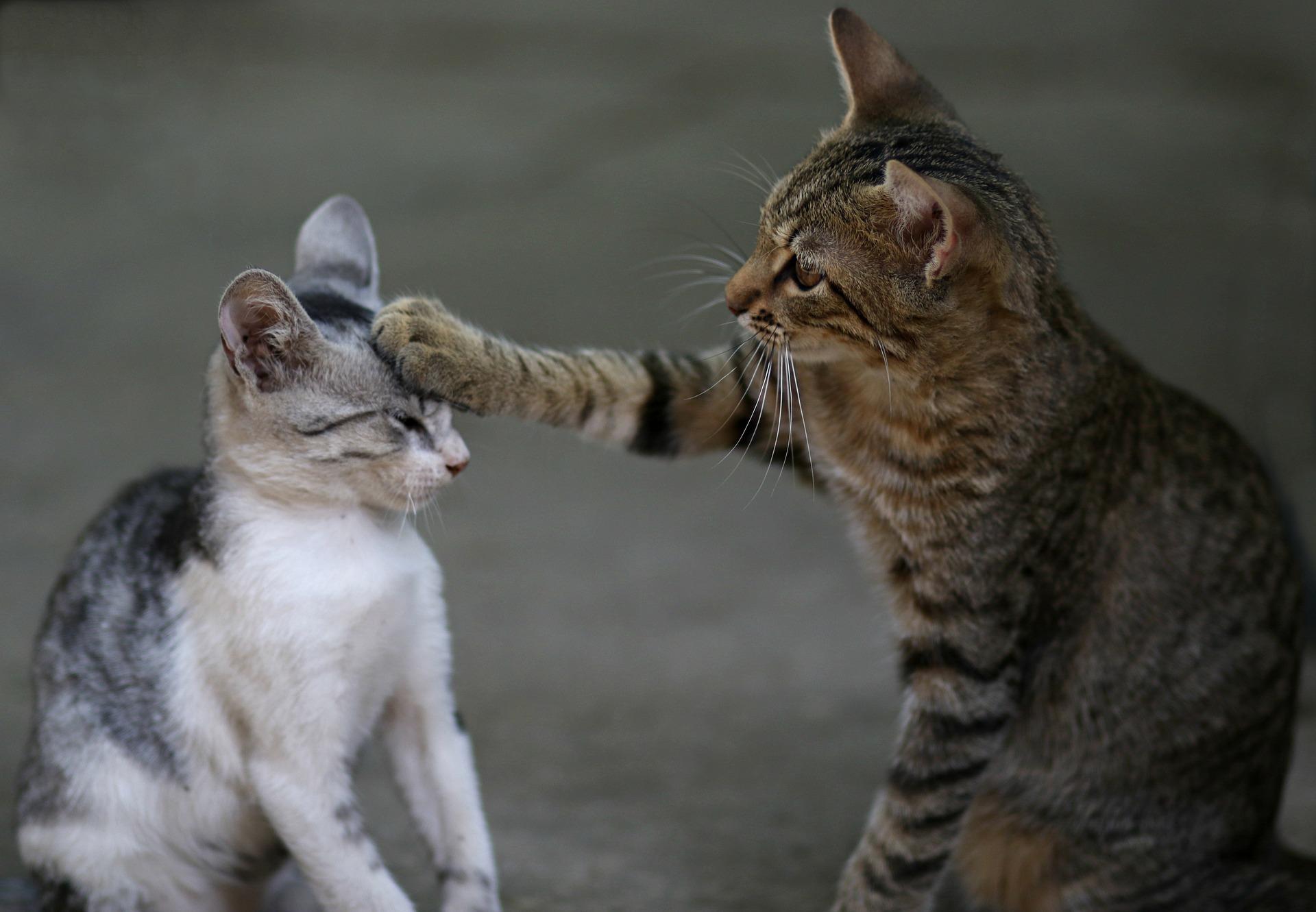 Hanfpfoten CBD Guide für Katzen