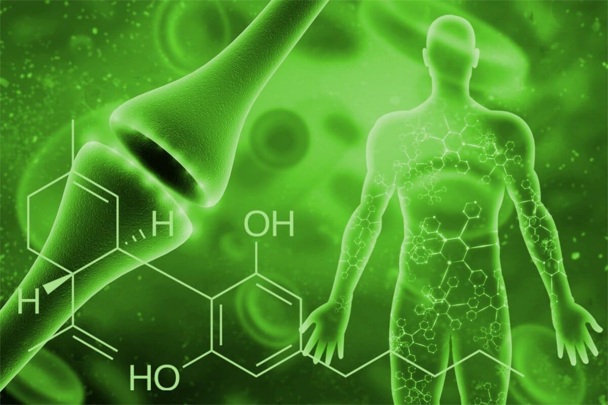 Einfach erklärt: das Endocannabinoidsystem