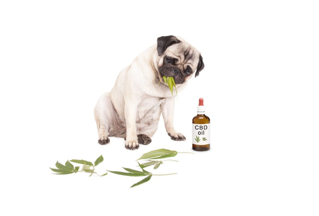 CDB Öl bei tierischen Schmerzen
